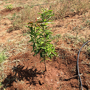 Mango sapling_Imam Pasanth _Grafted and planted 3 months old-2