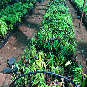 Mango saplings grafted - IV
