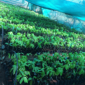 Mango saplings grafted III